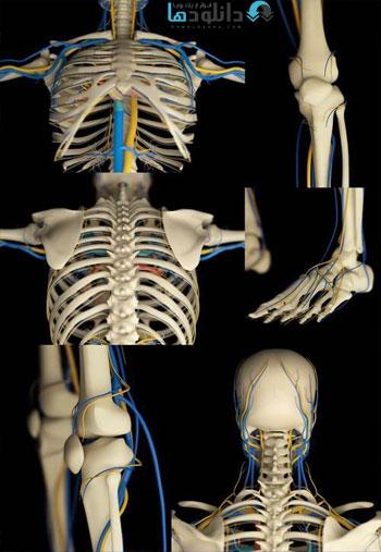 Human Skeleton and Vascular System Stock دانلود مجموعه تصاویر شاتر استوک بنام Human Skeleton and Vascular System Stock